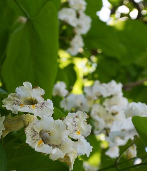 Catalpa flower6 062115