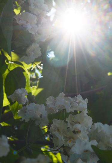 Catalpa flower7 062115