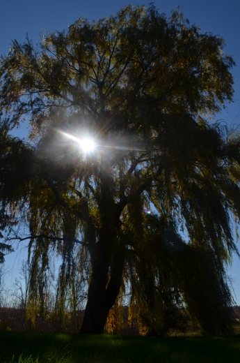 Willow tree2 102214